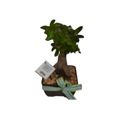 Ficus ginseng 15cm
