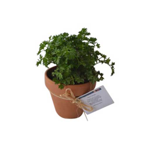 Herb in Terracotta pot 12cm