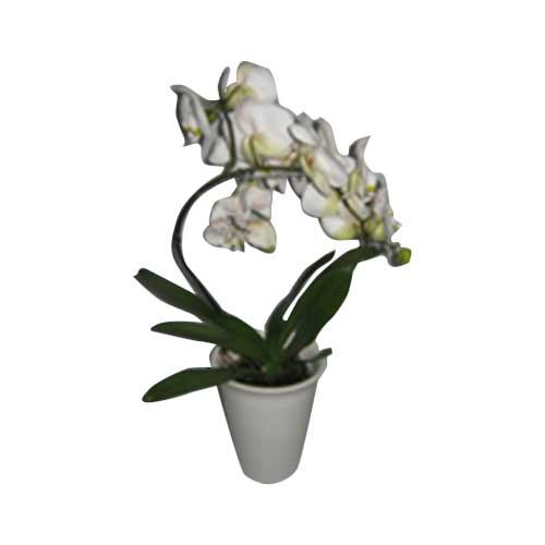 Phalenopsis (Orchid) 12cm