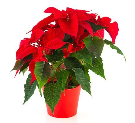 Pointsettia in pot 500 x 500