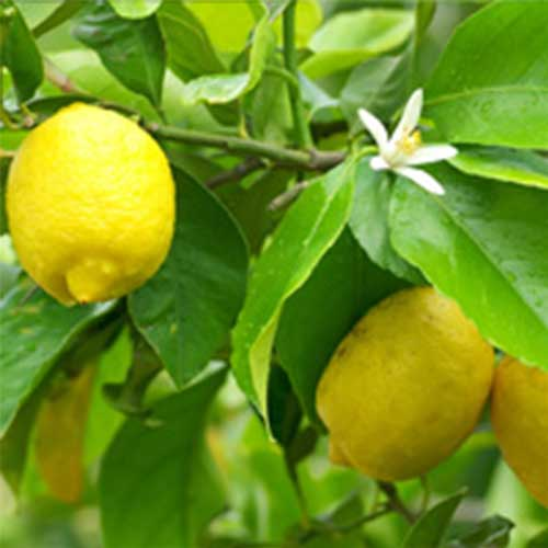 citrus-lemon-tree Citrus - Lemon Tree 10L
