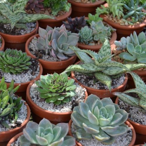 Succulents SANA